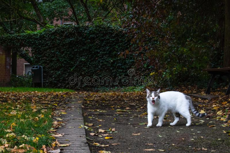 A white cat is roaming with mouth open in an urban park. concrete walls. autumn leaf royalty free stock photo