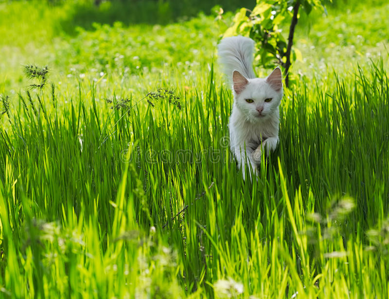 White cat running through the green grass. A cat with white hair running on the green grass on a sunny summer day. Selective focus image with candid light royalty free stock photo