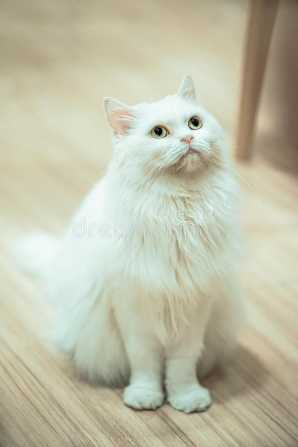 White Cat. Sit on the wood floor with dramatic tone, select focus eye stock photos