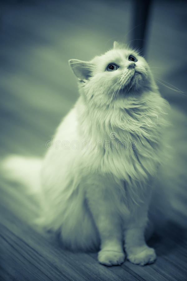 White Cat. Sit on the wood floor with dramatic tone, select focus eye stock photo