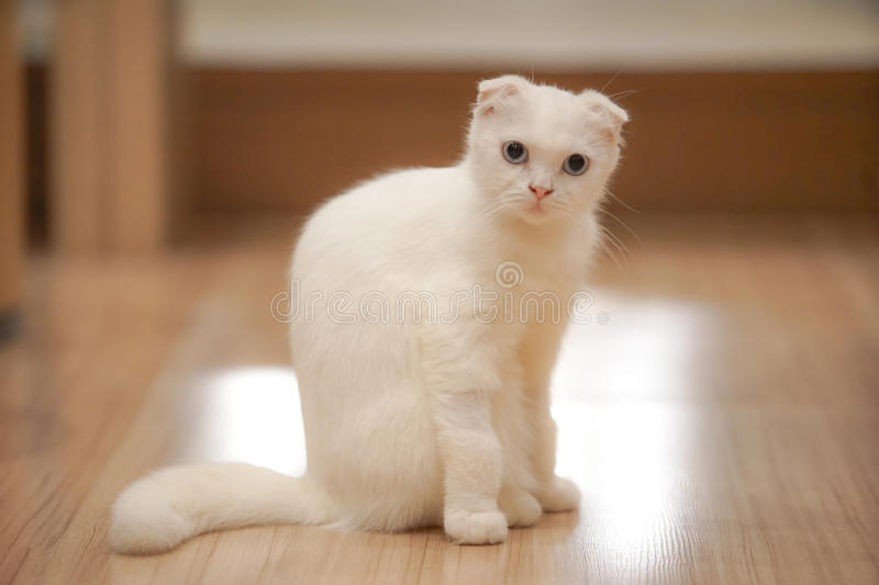 White Cat. Sit on the wood floor with dramatic tone, select focus eye royalty free stock photography