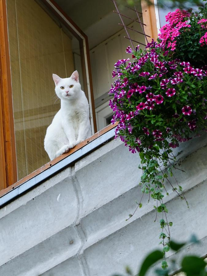 A white cat sits on the balcony of an apartment building and looks down royalty free stock photography