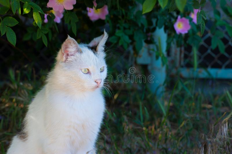 A white cat sits on the ground in the grass under a bush of roses and looks in front. A white cat sits on the ground in the grass under a bush of roses and stock photos