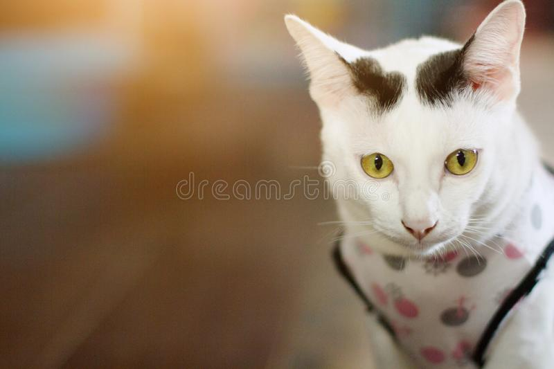White cat sitting on wooden floor. White cat enjoy and sitting on wooden floor royalty free stock photography