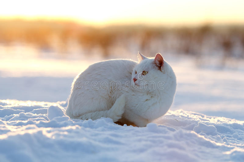 Download White cat on snow stock photo. Image of snow, grass, winter - 28364522