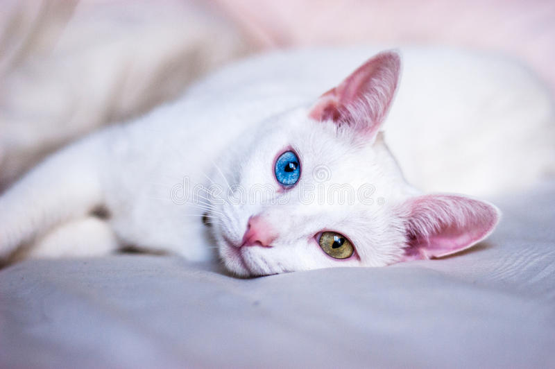 White cat trying to sleep, different colored eyes, pink ears and nose stock photography