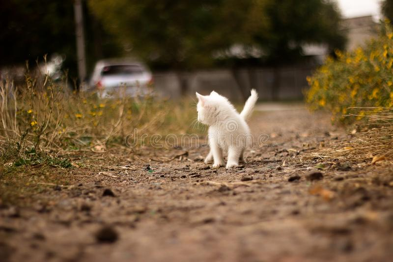A white cat walking though roads of a villiage. peeking cat, young, street road, looking interested, playful, adventering, hunting royalty free stock image