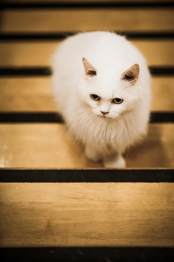 White Cat. Walking on the wood ladder with dramatic tone, select focus eye royalty free stock images