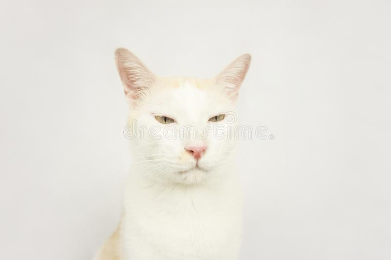 White cat with a white background stock image