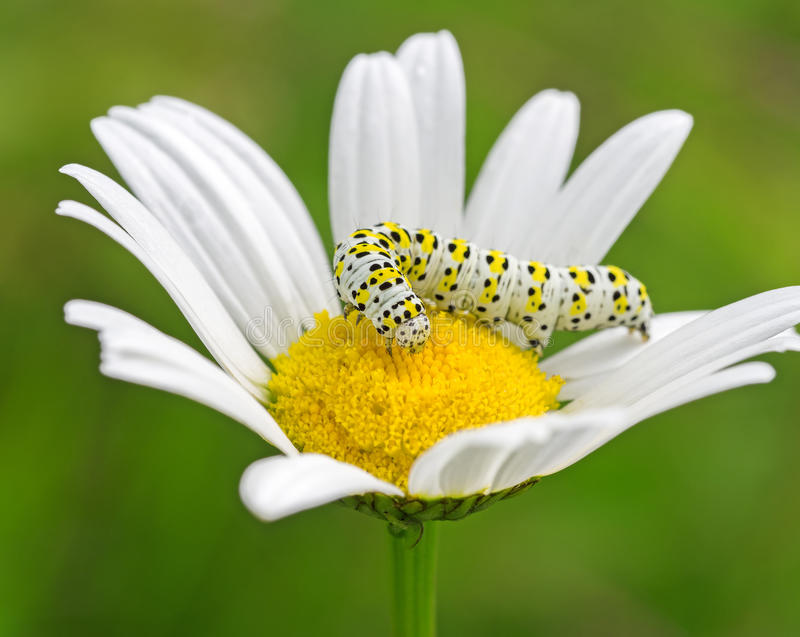 White caterpillar on flower. Close up of white caterpillar on flower royalty free stock photography