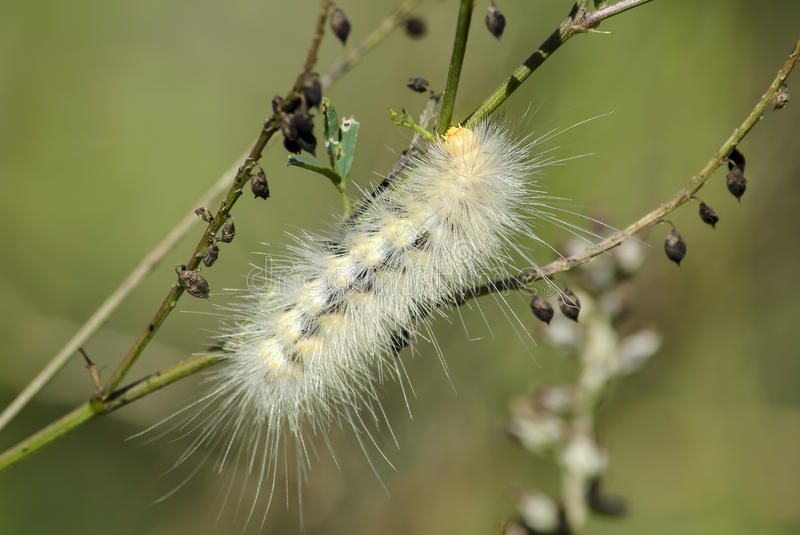 White caterpillar. A white hairy caterpillar, with light yellow markings is crawling on a green plant stem stock photo