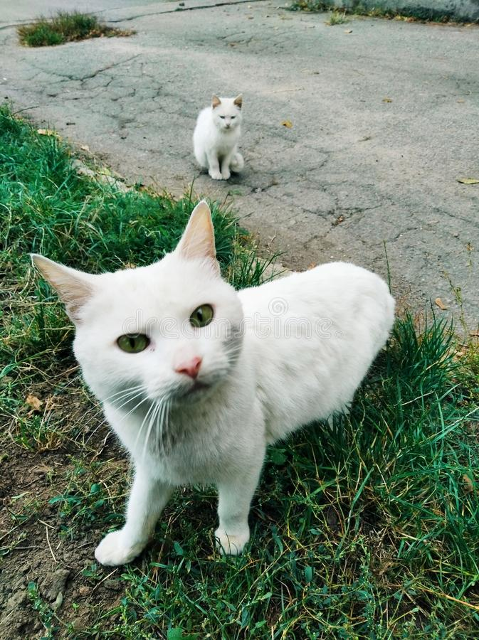 White cats playing stock images