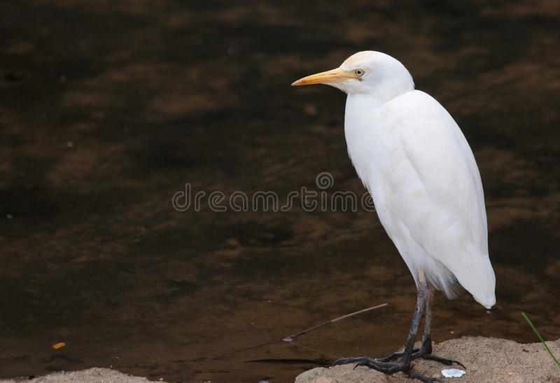 Download White cattle egret stock image. Image of wildlife, bird - 24551275