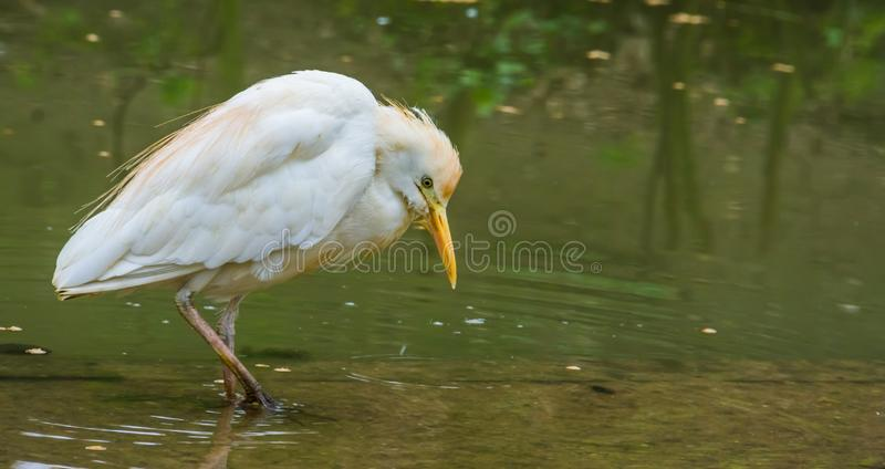 White cattle egret standing in the water, cosmopolitan bird widely spread over the world. A White cattle egret standing in the water, cosmopolitan bird widely stock photography
