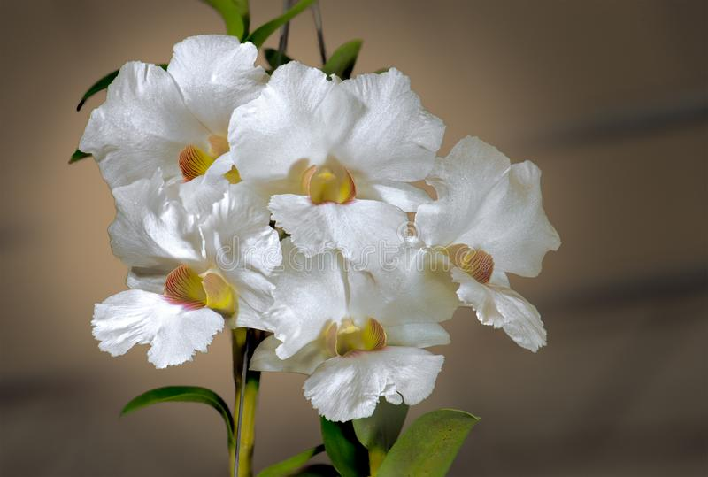 WHITE CATTLEYA HYBRID ORCHID. stock photo