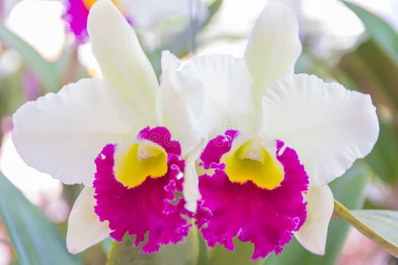 White Cattleya orchid. stock photo