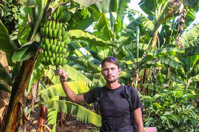 White Caucasian male traveler in a thermo-hair wagon with long hair stands among banana trees and holds a bunch of bananas royalty free stock images