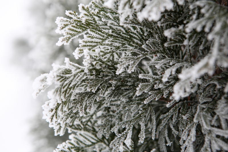 White cedar in winter. White cedar covered with frost royalty free stock photo