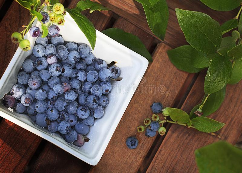 Ripe Blueberries in White Square Dish royalty free stock photos
