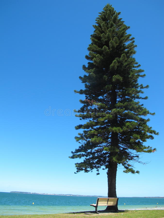 The white chair under the big and tall pine tree at blue sea have blue background in australia stock image
