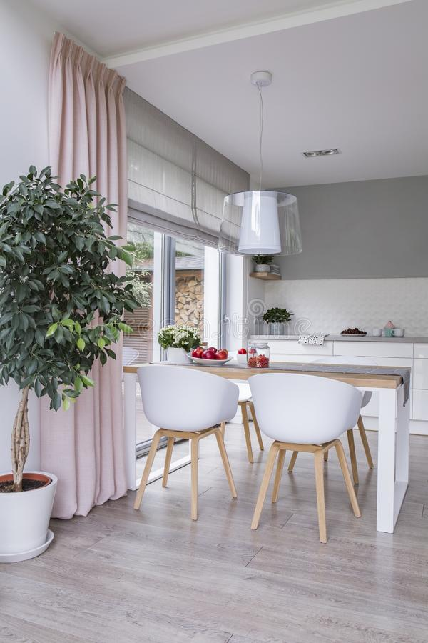 White chairs at table in modern dining room interior with plant and pink drapes. Real photo royalty free stock photo