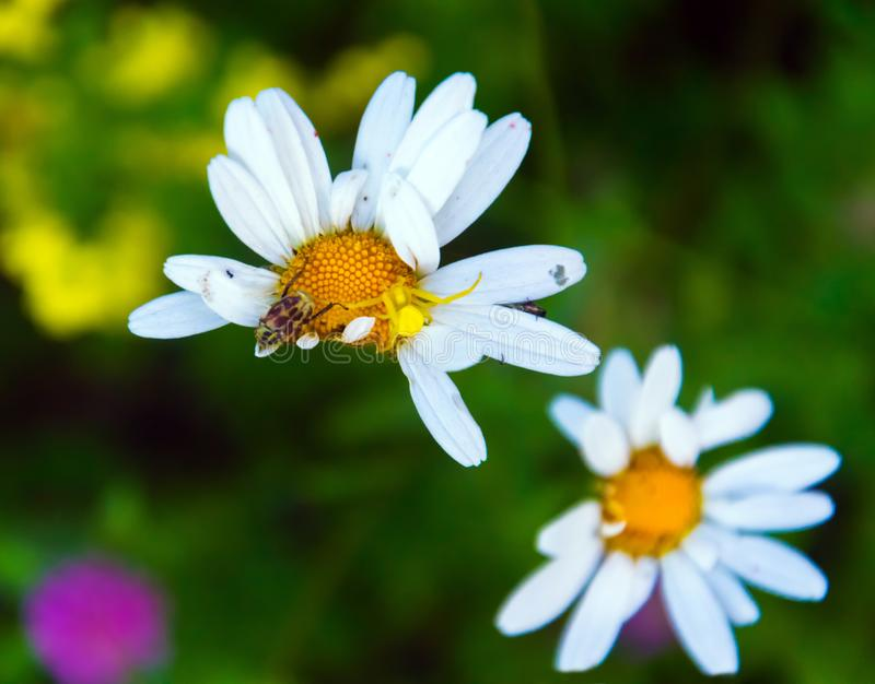 White chamomile with curved petals. Three insects live on this Daisy. Siberian Flowers. White chamomile with curved petals. Three insects live on this Daisy. A stock images