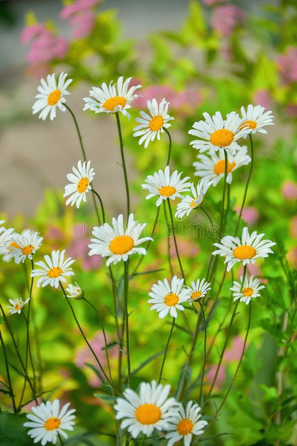 White chamomile flowers field background in the sun light. Summer daisies. Beautiful nature scene with blooming daisy background stock photography