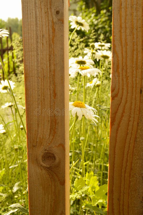 White chamomile flowers grow behind a new wooden fence of picket fence, summer Sunny day stock photography