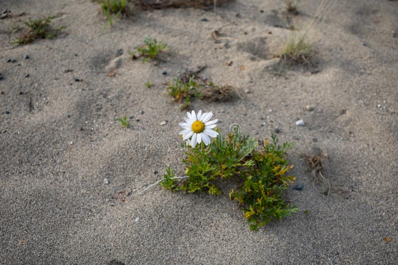 White chamomile on a sandy beach royalty free stock image