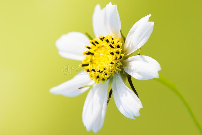 White chamomile on yellow royalty free stock images