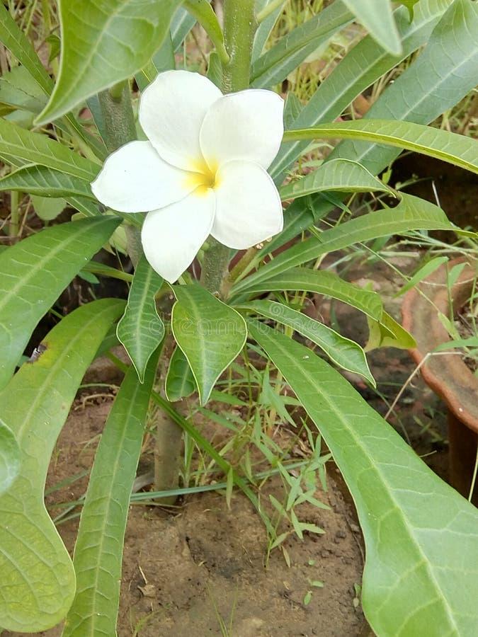 White Champa flower. Plant royalty free stock photos