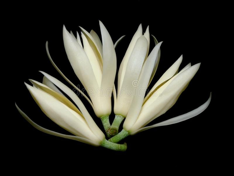 White Champaka royalty free stock image