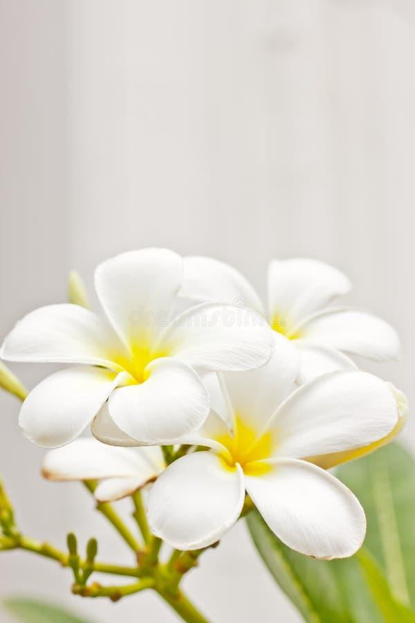 White champaka flower. In garden stock photography
