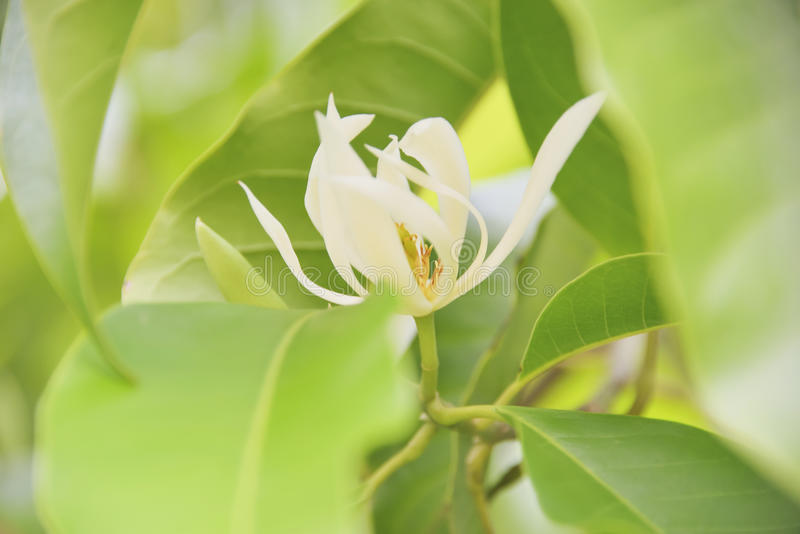 White Champaka. Flower with white petals, which are easily visible stock image