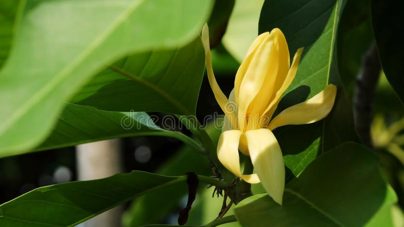White Champaka flower on the tree and space for write wording. Popular good smell flower in Thailand and Asian country for making merit in Buddhist religion stock image