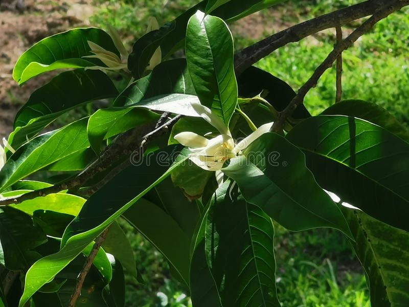 White Champaka, flowering ornamental plant with fragrance flower. Thailand royalty free stock photography