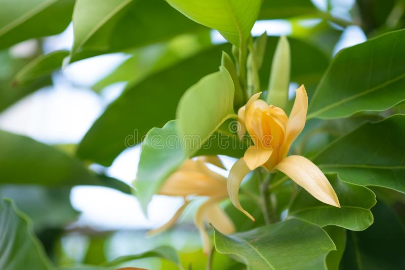 White Champaka Flowers and Green Leaves With Sunlight.  royalty free stock photography