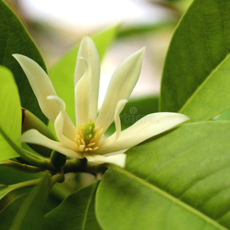 White Champaka. Is a large evergreen tree. Best known for strongly fragranted flowers stock image