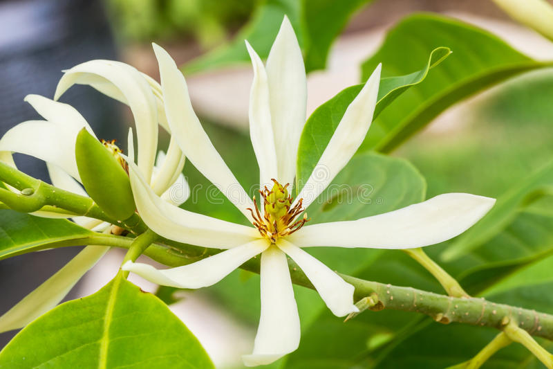White Champaka on the tree. Are blooming stock photos