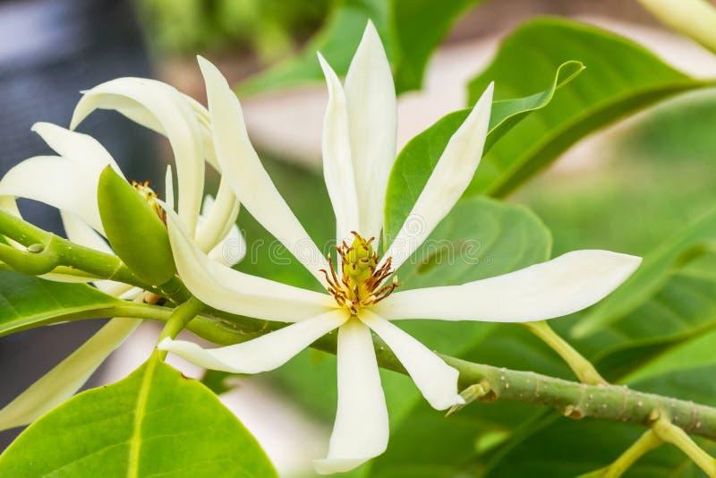 White Champaka on the tree stock photos