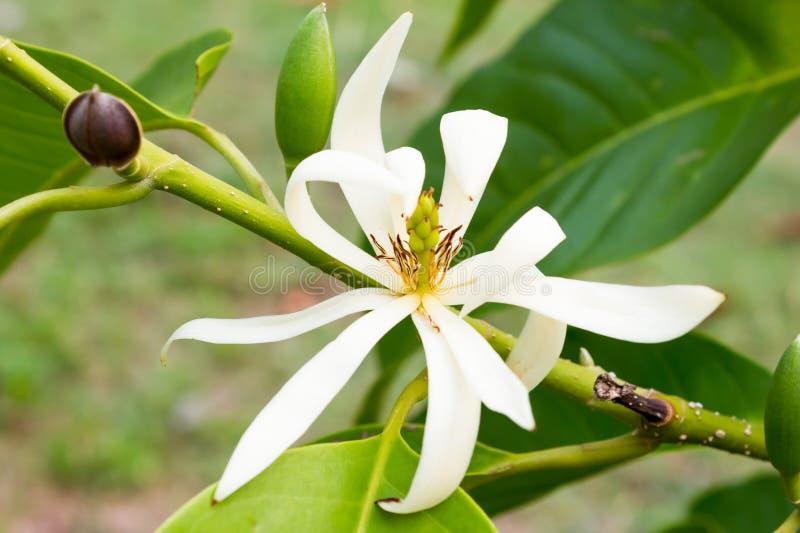 White Champaka on the tree are blooming. Michelia alba DC stock photo
