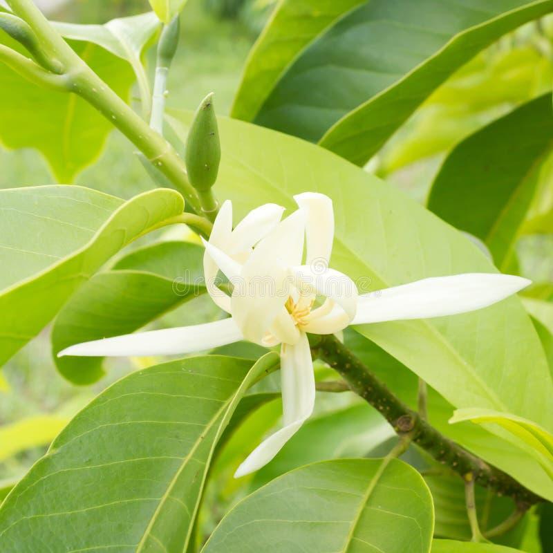 White Champaka on the tree. Michelia alba DC. Blooming white Champaka on the tree. Michelia alba DC royalty free stock photos