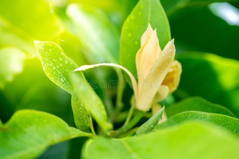White champaka with water drops. Tropical flower stock image