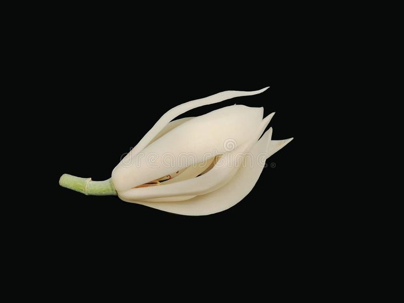 White Champaka, White Sandalwood, Chid tree, with green stem isolated on black background. White Champaka, White Sandalwood, Chid tree, fragrant flower with royalty free stock photos