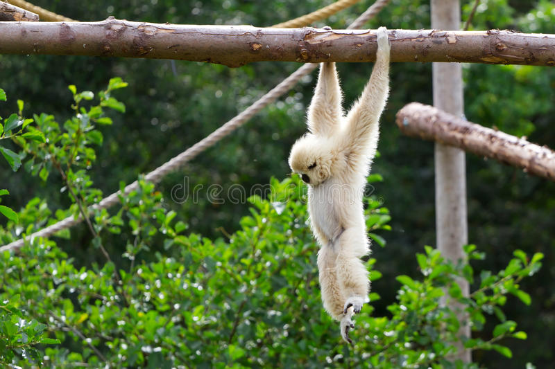 Download White Cheeked Gibbon Stock Image - Image: 24096401
