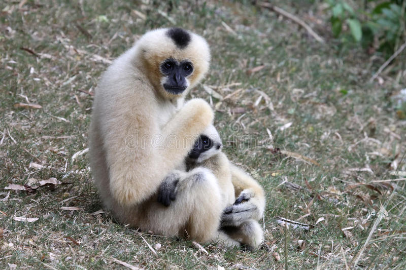 White Cheeked Gibbon or Lar Gibbon with baby. In zoo Thailand royalty free stock photography