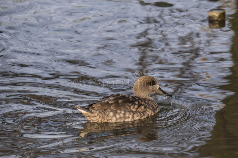 White-cheeked pintail Anas bahamensis. Codon of the Bahamas in the pond with water that drips from the beak stock photos