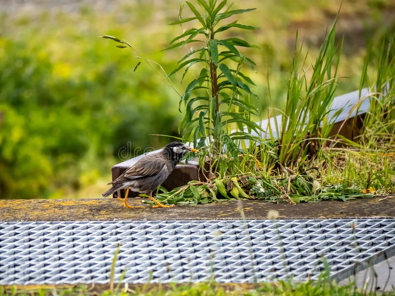 White cheeked starling beside a field. A white cheeked starling, Spodiopsar cineraceus, darts along a Japanese rice field in early spring stock image