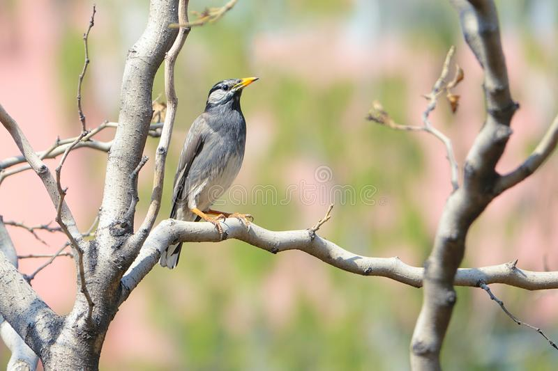White-cheeked Starling royalty free stock photography