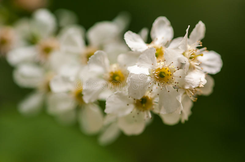 White cherry bloosom flower on branch in nature, flower background, symbol of arrival of spring.  stock images